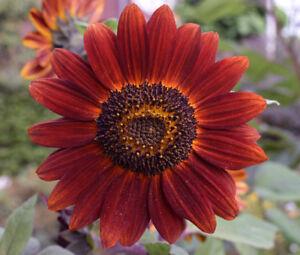 SUNFLOWER-VELVET-QUEEN-Helianthus-Annuus-20-Seeds