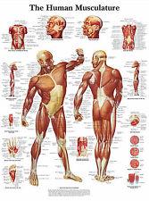 Cartel médico A3-el diseño de músculo humano (libro de texto médico de imágenes de anatomía)