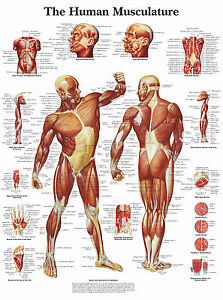 download human muscle layout | ohnonotstereo, Muscles