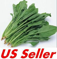 5,000 Bloomsdale Long standing  Spinach seeds Bulk Microgreens  USA Harvested