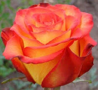 Orange Climbing Rose~ 20 Seeds ~ Rare ~ Free Shipping ~ USA Seller!