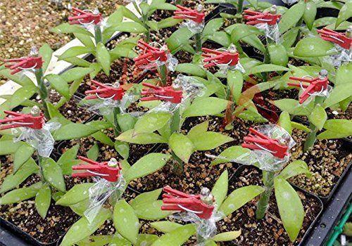 100 Pcs Mini Transparent Flower Plants Grafting Clips Gardening Tools *DC
