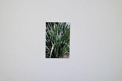lavande neuseelandflax # 34 10 graines phormium tenax