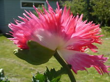 """Shaggy Pink White Papaver Somniferum Poppy Pom Seeds """"Jester"""" *Shelley"""""""