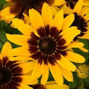 20 denver daisy rudbeckia aka black eyed susan perennial flower image is loading 20 denver daisy rudbeckia aka black eyed susan mightylinksfo