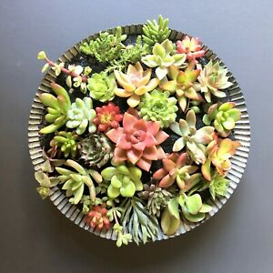25-2-Beautiful-Colorful-amp-Healthy-Succulent-Cuttings-25-Varieties-FREE-SHIP