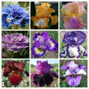 NEW-200PCS-IRIS-MISSOURIENSIS-FLOWER-SEEDS-PERENNIAL