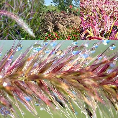 60PCS Jade-Glocke Samen Mehrjährige Kaktus Sukkulenten Terrasse Kräuterpflanzen
