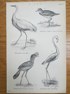Antique-Engraving-Print-Bird-Picture-Red-Flamingo-Great-Egret-Cariama-OLD
