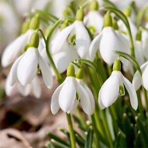 100-x-Single-Snowdrops-Bulbs-In-The-Green-Spring-Flowering-Galanthus-Nivalis