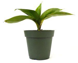 Dwarf-Patio-Banana-Plant-Live-Tree-Garden-Fruit-Outdoor-Yard-4-034-Pot-Best-Gift