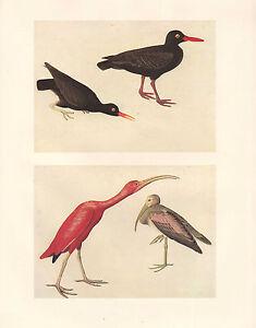 Vintage-John-James-Audubon-Uccello-Stampa-Nero-Oystercatcher-Scarlet-Ibis