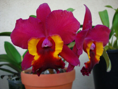 """25-3 Pot Immaculate Heart /""""Hilo red/"""" in a 3,5 inch Pot"""