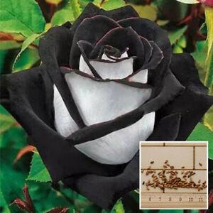 200Pcs-Rare-Samen-White-Black-Rose-Blumensamen-Garten-New-Neu