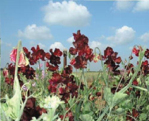 Pictorial Packet Flower Kings Seed 20 Seeds Sweet Pea Windsor