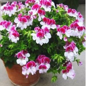 10-PCS-Bag-Two-color-Red-White-Univalve-Geranium-Seeds-Perennial-Flower-Seeds