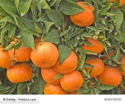 Mandarinenbaum Citrus Reticulata 1000 Graines Méditerranée Mandarine