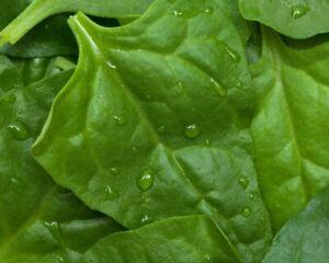 * Porfirio épinards Graines, Très Haut Rendement Riche été épinards, Spinach Seeds-afficher Le Titre D'origine à Vendre