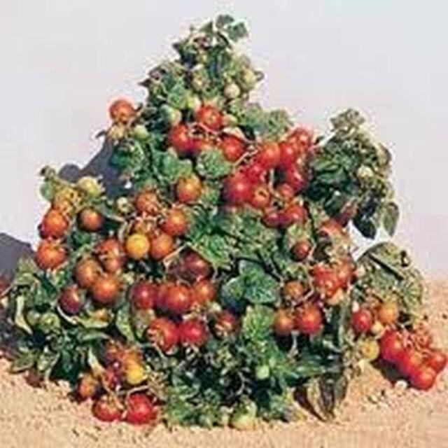 "Tiny Tim Tomato (The Original ""Patio"" Tomato) mmm... GOOD!! FREE SHIPPING!!!!!"