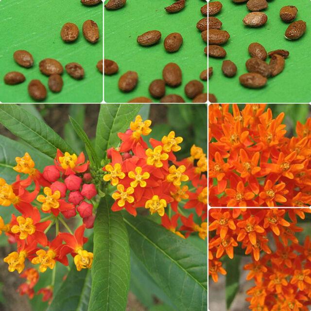 100pcs Orange Butterfly Milkweed Asclepias Flower Seeds Home Garden ...