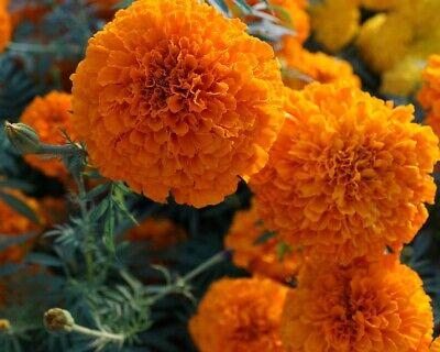*hawaii* Orange Tagetes Samen, Studentenblumen Samen, Tagetes Erecta Orange Groß 100% Garantie