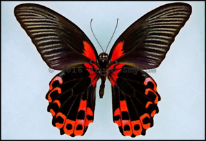 A Lot of 5 A1 LARGE Red Flag Swallowtails Papilio rumanzovia Unmounted