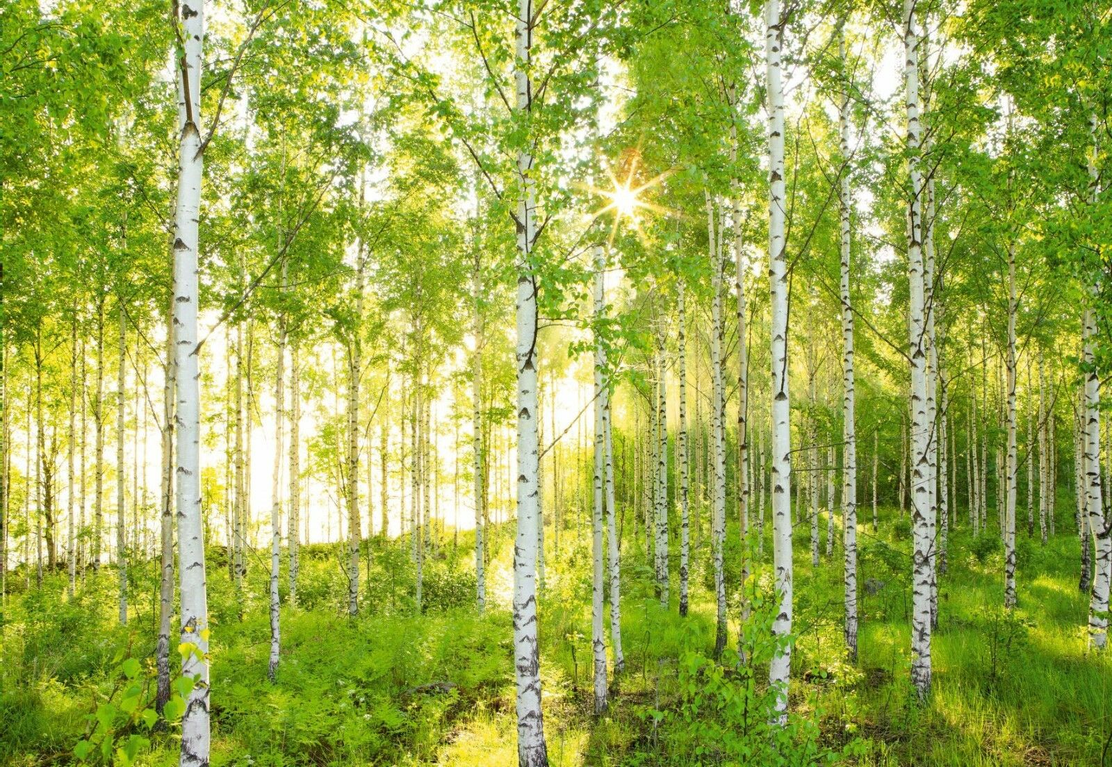 Sunday Birch Forest Photo Wallpaper Wall Mural National Geographic ...