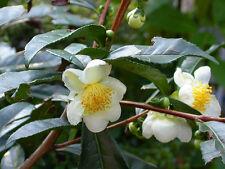 PLANTA del TE camellia sinensis 10 semillas seeds graines samen