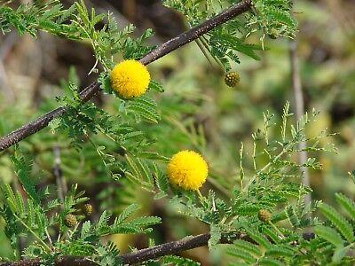 Acacia baileyana HARDY ACACIA Exotic SEEDS!