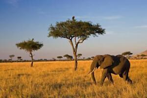 Elephant-on-a-Savanna-Photo-Art-Print-Poster-24x36-inch