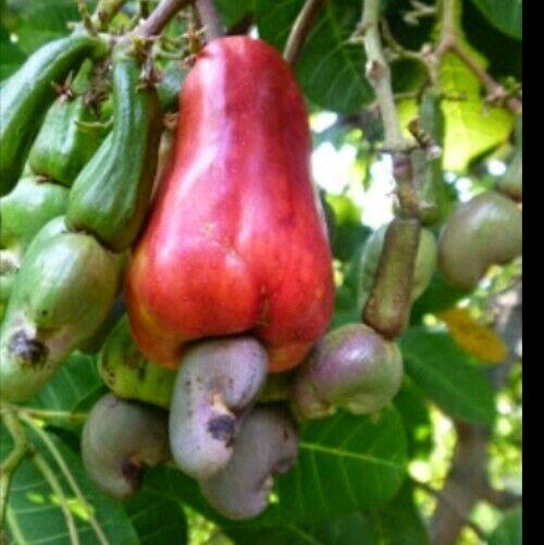 organic Cashew Nut Seeds,5  seeds