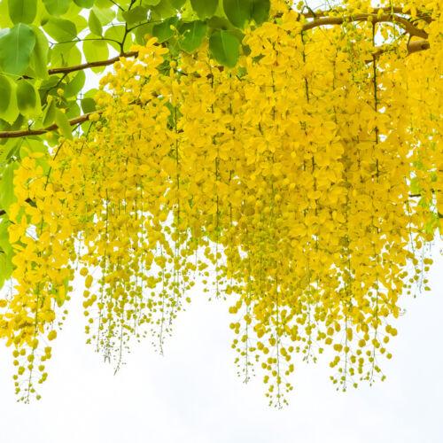 Der leuchtend gelbe Goldregen kann in einem Kübel kultiviert werden.