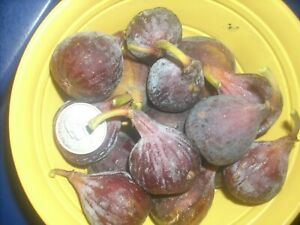 Fig tree cuttings,Improved Celeste ,delicious,cold hardy , productive,5 pcs !