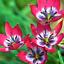 Tulip Tulipa LITTLE BEAUTY flower 8psc Bulbs plants