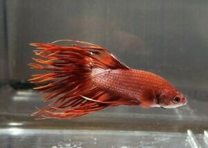Red Crowntail Live Male Betta Fish