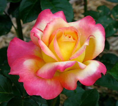 Chicago Peace Rose  Live Plant Bare Rooted
