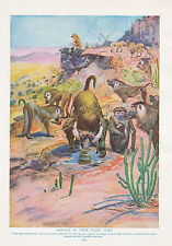 1910 NATURAL HISTORY DOUBLE SIDED PRINT ~ MANDRILL / BABOONS ~ LYDEKKER