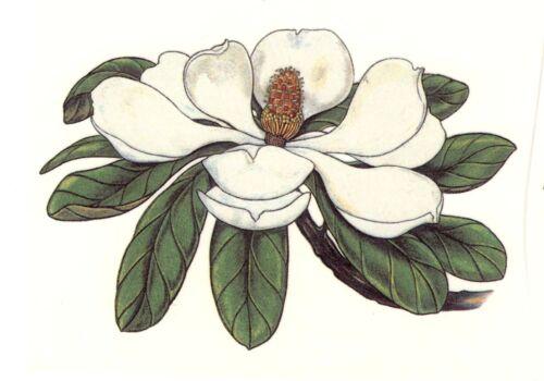 """4 White Magnolia Flower 4-1//4/"""" Waterslide Ceramic Decals Xx"""