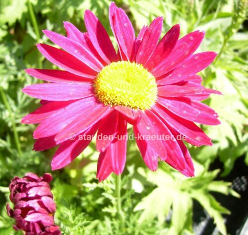 """Arbustes-paquet Chrysanthemum cocineum /""""robinson roses/"""" rose 3x Coloré Fleur"""