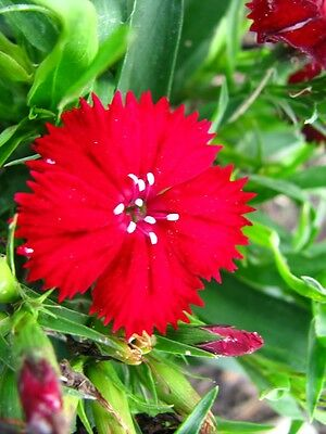 100 RED CARDINAL DIANTHUS Caryophyllaceae Flower Seeds + Gift & Comb S/H