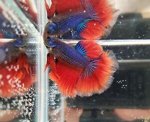 5 Month Red/blue Halfmoon Betta Pair