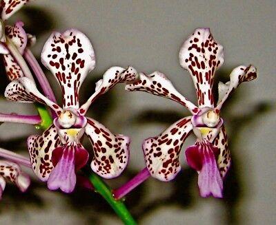 Vanda tricolor Hybride ´Dragon Fire Lip´ Duft NEW blühstark Orchidee Orchideen