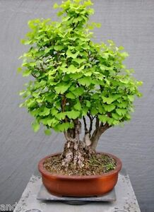 Ginko Tree Ginkgo Biloba Bonsai 2 Seeds S1230 Garden Decor Ebay