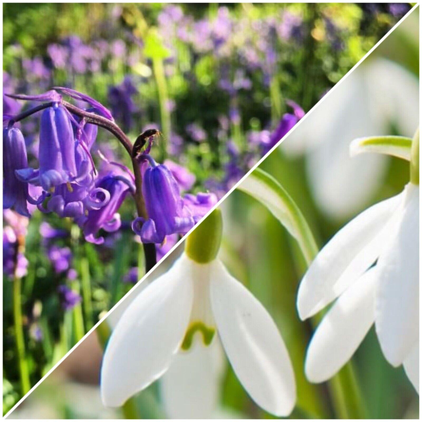 10 SINGLE SNOWDROP BULBS & 10 BLUEBELL BULBS Premium Quality Flowering Bulbs