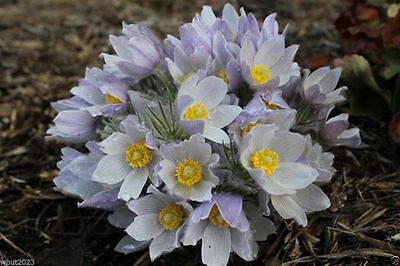 50 Prairie Crocus Seeds (Pasque Flower)  White- South Dakota state flower