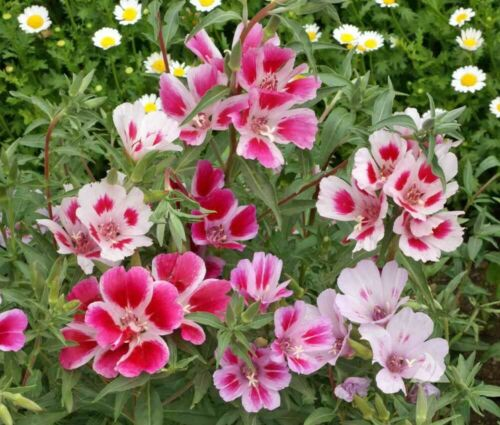 Samen Saatgut Seeds Sommerazalee Clarkia amoena Dwarf Mix Farewell to Spring 25