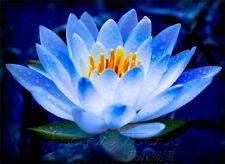 Blue Lotus / Nelumbo nucifera Flower seeds (2 seeds) X-003