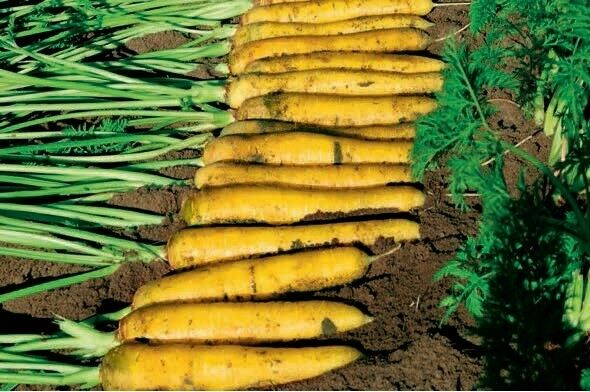 Vegetable - Carrot - Yellowstone - 250 Seeds