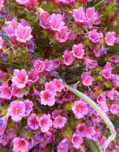 Echium fastuosum seeds rare graines Vipérine de Madèrefleur flower garden