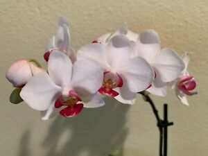 Phalaenopsis Orchid In Bloom Ebay